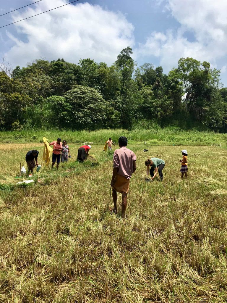 Day on a Sri Lankan Rice Paddy
