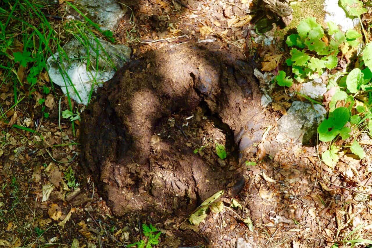 Via Dinarica Trail A Possible Bear Track Via Dinarica Trail Guide