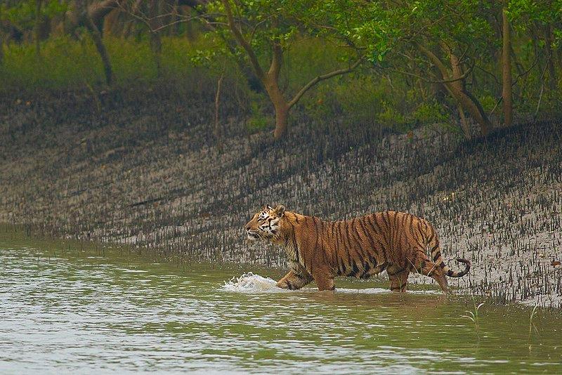 A Bengal Tiger on our Sundarbans National Park Tour