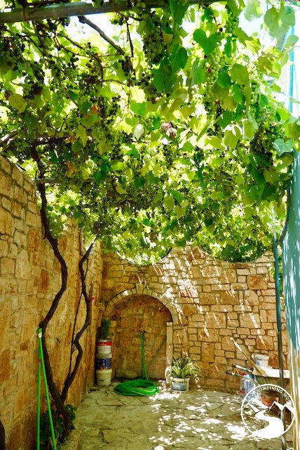 Grape vines growing at the Adrian Agustin Rooms