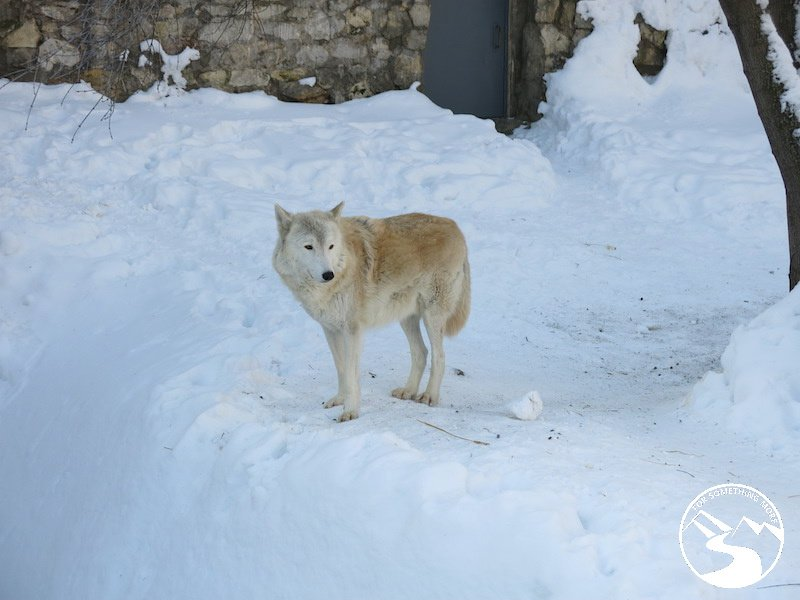An Arctic Wolf in the Moscow Zoo – right at home