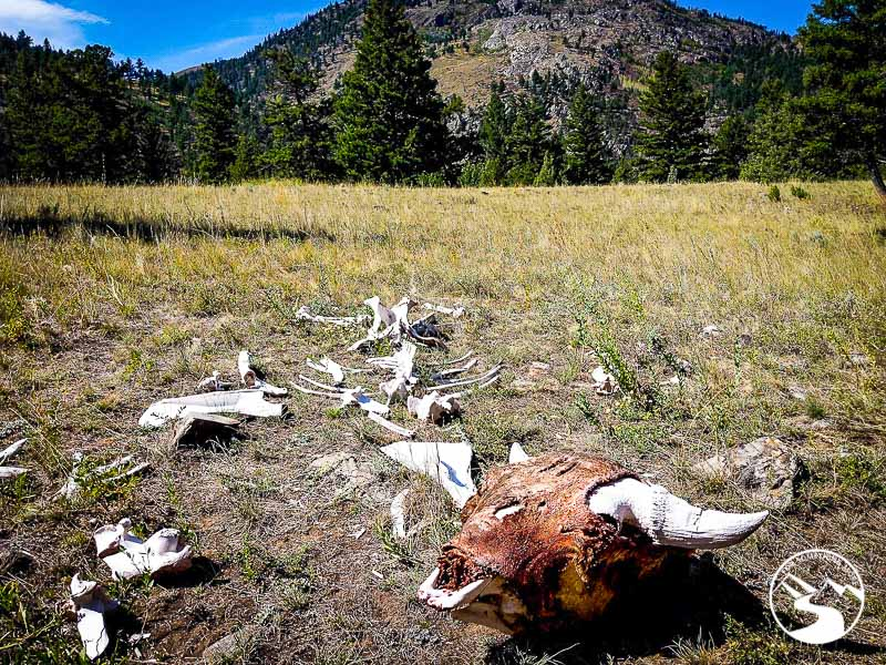 a decaying bison scull