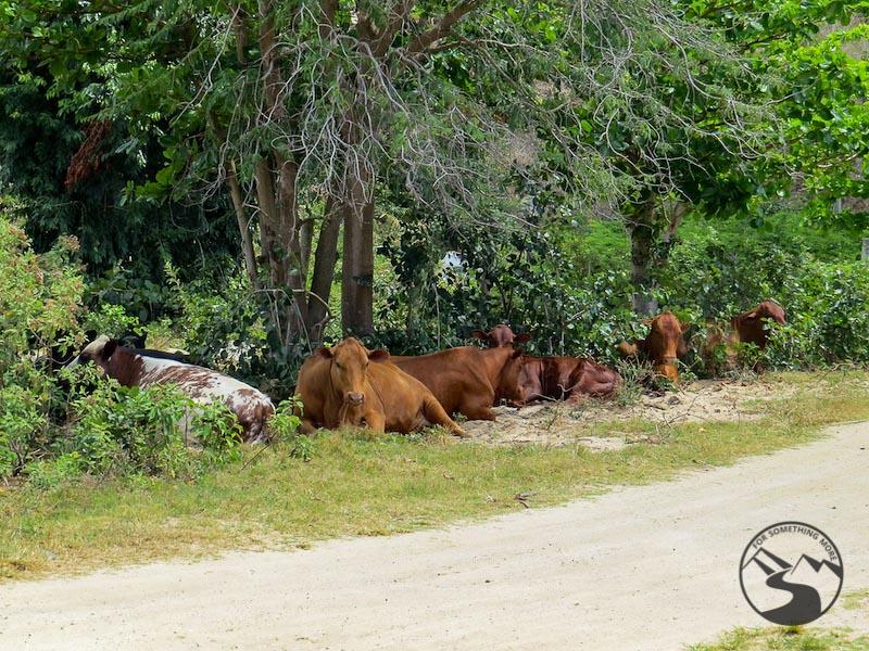 Tortola Beaches cows at Josiah's Beach