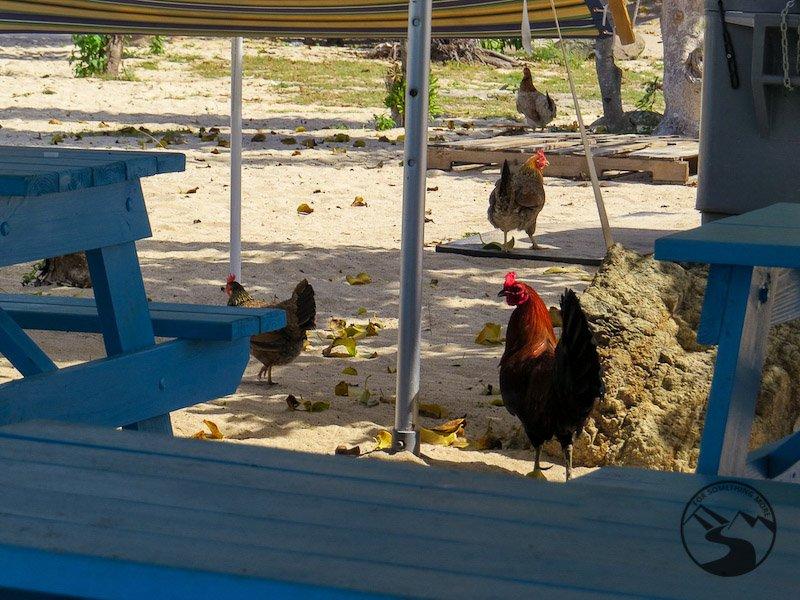 Tortola Beaches chickens at Long Bay Beach Things To Do In Tortola BVI