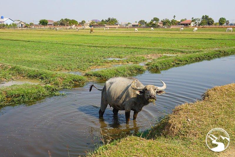 a water buffalo in Cambodia
