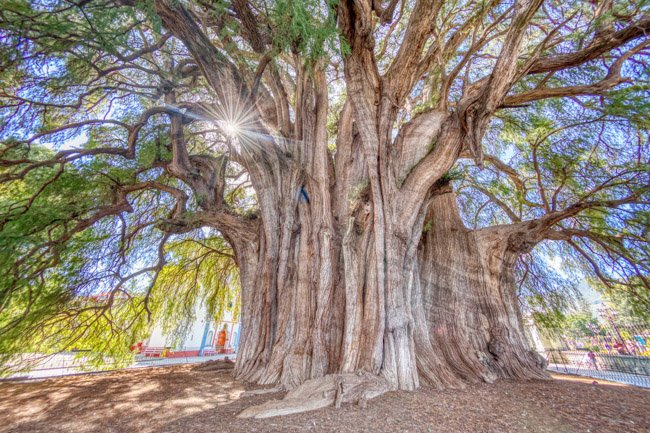 things to do in oaxaca include el Tule the oldest tree in Oaxaca