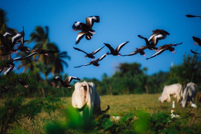 flock of bird flying over cow