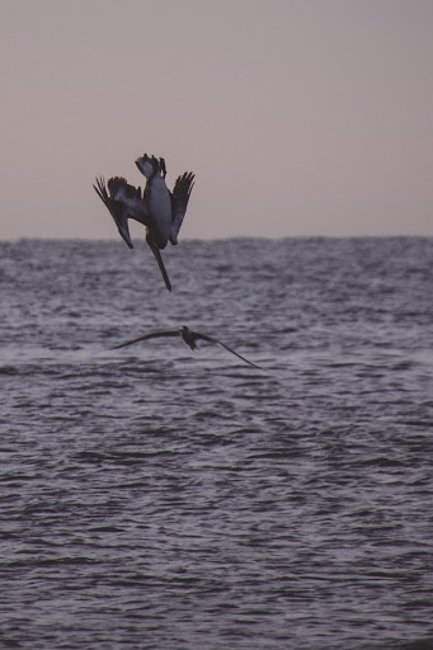 bird diving for fish