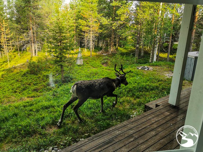 A reindeer in our accommodation's back yard!