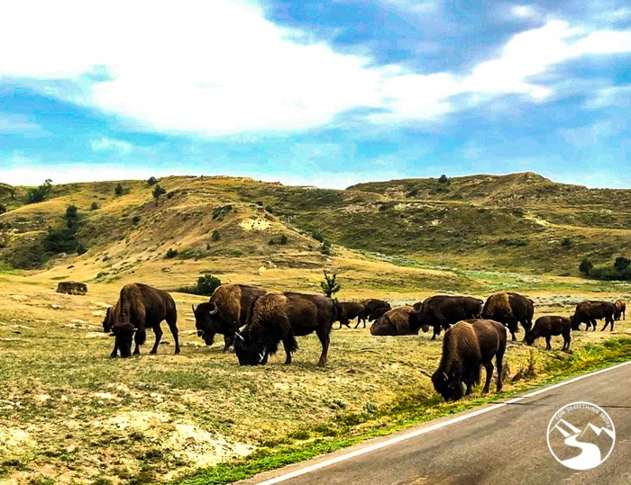 Theodore Roosevelt National Park has many bison