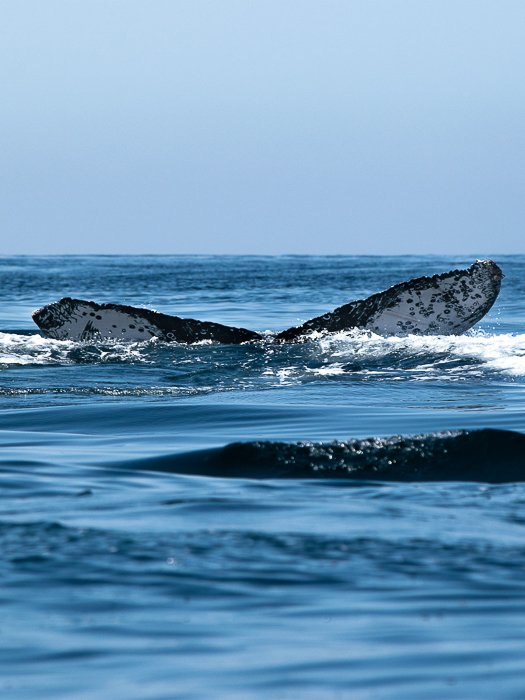 whale flukes on the surface of the water while whale watching